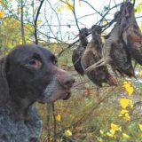 Подготовка легавой к классическим охотам